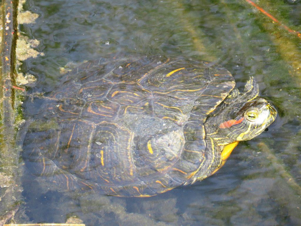 Търсят се топли домове на червенобузите костенурки от фонтана до зала Лотос